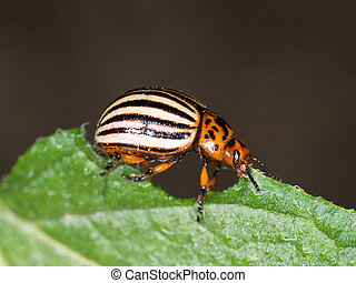 Colorado beetle macro, eating potato leaf. Profile. - The...