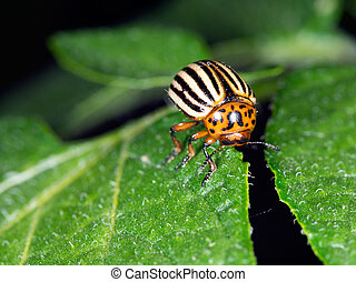 Colorado potato beetle, Leptinotarsa decemlineata, on potato...