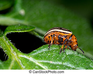 Colorado beetle macro, eating potato leaf. Leptinotarsa...