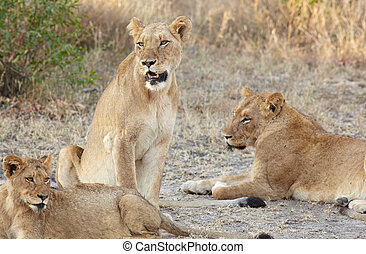 Lions at rest - Young lion cubs resting in the early morning...