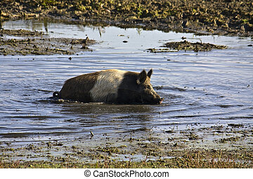 Semi-wild pig crowling inside the mud at lake Kerkini in...