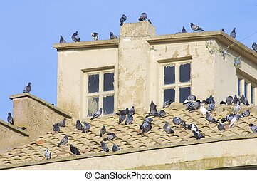 Pigeons - Group of pigeons on a roof