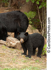 young black bear - young wild black bear with Mother bear in...