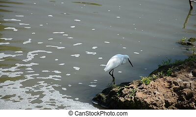 Little egret - The little egret (Egretta garzetta) is a...