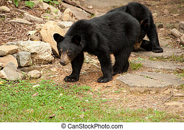 wild young black bears - young wild black bears looking at...