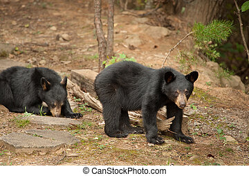 wilds bears - wild black bears in the Blue Ridge Mountains...