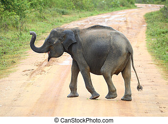 young elephant crossing road