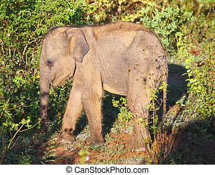 small indian baby elephant