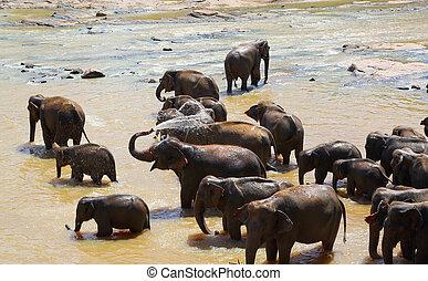 Elephants bathing in river
