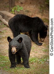 Black Bears - wild black bears in the Blue Ridge Mountains