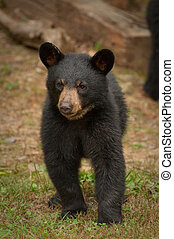 single black bear looking at camera in the Blue Ridge...
