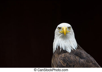 Bald Eagle isolated - A portrait of a staring Bald Eagle...