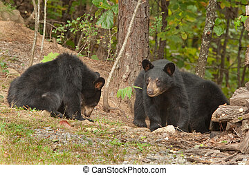 two black bears - two wild young black bears in the woods