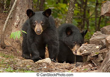 wild black bear - two young wild black bears in the woods