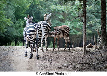 Family of zebras - baby nursing on mother with Father zebra...
