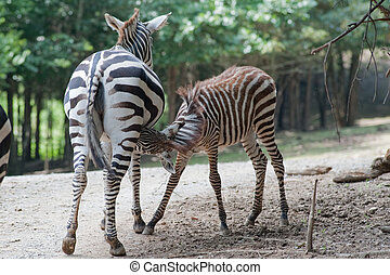 baby zebra nursing on mother at a zoo
