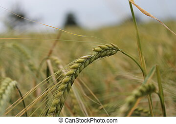 Wheat field background crop harvest - backdrop of ripening...