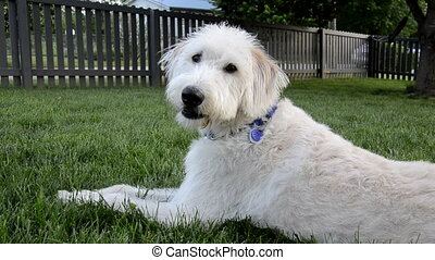Dog Looks Back at Camera - A light colored labradoodle sits...