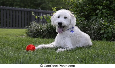 Dog Staring at Camera - A happy light colored labra-doodle...