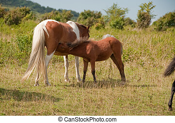 baby pony nursing on mother in the field