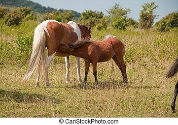 baby pony nursing