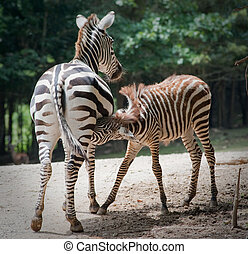 baby zebra nursing on Mother