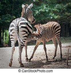 baby zebra nursing on Mother