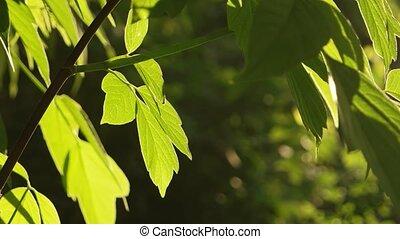 Green Leaves Trees Sunlight Backlit