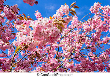Beautiful Japanese cherry tree blossom in May