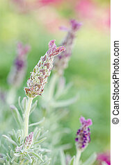 Beautiful lavandula stoechas flower. - Close view of the...