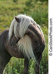Wild Pony at Grayson-Highlands State Park Pony has long...