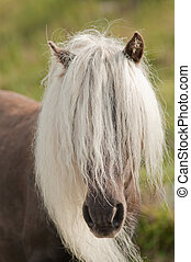 Horse with mane - wild pony with long mane hanging on face
