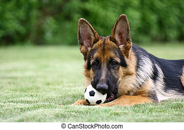 The German Shepherd Dog GSD, also known as an Alsatian,...
