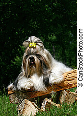 The Shih Tzu is a breed of small companion dog of very...