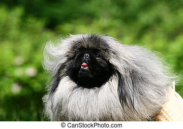 "The Pekingese or Peke (also commonly referred to as a ""Lion..."