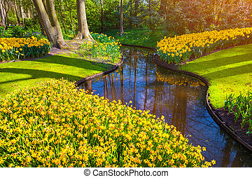 Marvellous yellow narcissus in the Keukenhof park Beautiful...