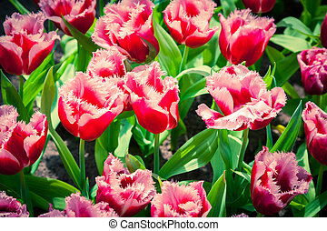 Marvellous tulip flowers in the Keukenhof park, used as...