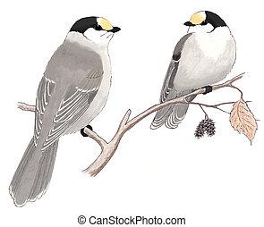 Gray Jays Perisoreus canadensis pair