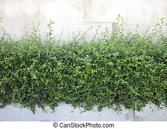 shrubbery - Bushes fence leaves green White plaster walls