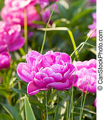 Pink peony in a garden with many other flowers