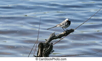 white wagtail (motacilla alba)with caught fly in its mouth...