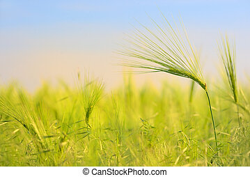 Green wheat field in spring time