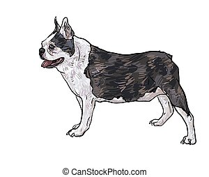 Drawing side of french bulldog standing on white,vector...