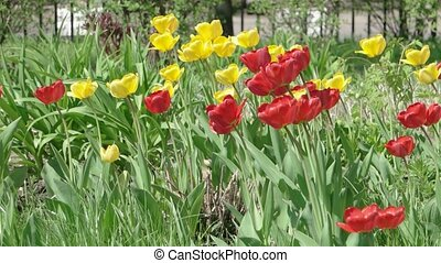 Red and Yellow tulips closeup video UHD