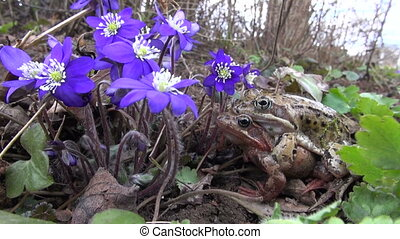 pair common frogs Rana temporaria and beautiful violet...