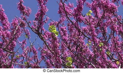beautiful redbud tree blossoms