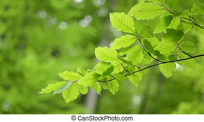 Branch green leaves Beech moving. - Close up of branch green...