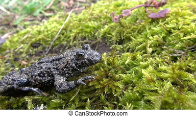 rare European Fire-bellied Toad - rare frog European...
