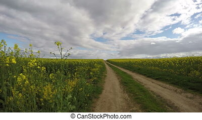 rapeseed field and rural  road