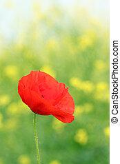 red poppy flower summer season